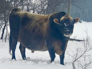 HOMOZYGOUS POLLED A2A2 GRASS-FED JERSEY bull in snow